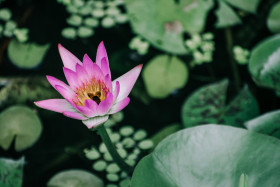 Free photo of Bee inside pink color water lily