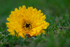 Free photo of Close up of yellow flower on green grass