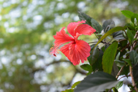 Free photo of Close up of red hibiscus flower