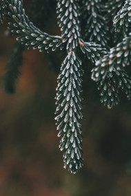 Free photo of Selective focus photo of shortstraw pine leaves