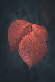 Free photo of Closeup of red maple leaf