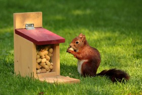 Free photo of Eurasian Red Squirrel, Wood, Plant, Whiskers and Mammal