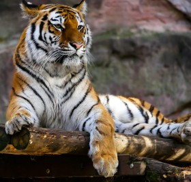 Free photo of Siberian Tiger, Tiger, Bengal Tiger, Snout and Felidae